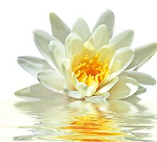 White Lotus by devy