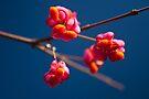 Pink Spindle fruit - Euonymus europaeus by David Isaacson
