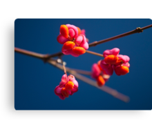Pink Spindle fruit - Euonymus europaeus Canvas Print