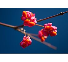 Pink Spindle fruit - Euonymus europaeus Photographic Print