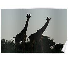 Wildlife Giraffe Siloette Poster