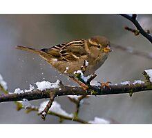 Snowboarding Sparrow Photographic Print