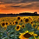 Sunflower Sunset by Stefan Trenker