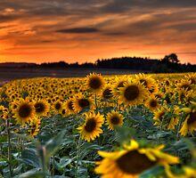 Sunflower Sunset by Stefan Trenker