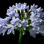 African Lily by Roger Butterfield