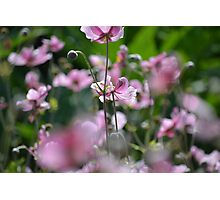 Beautiful pink blossoms  Photographic Print