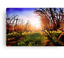 Vines at Fess Parker Winery Canvas Print