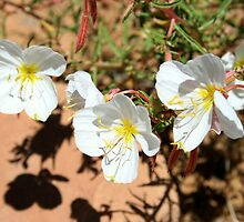 Desert Primrose Over Red Sandstone by Harry Snowden