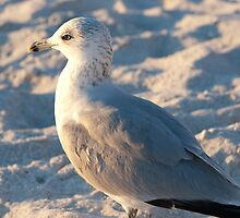 Ring-billed Gull by Charles Dobbs Photography