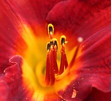 red lily by sarah-and-ash