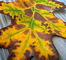Colors of Fall in a Leaf by lindsycarranza