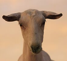 Goat in the suset by Chantelle Benade