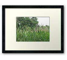 bullrushes Framed Print