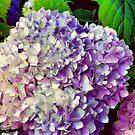 Hydrangea by Cricket Jones