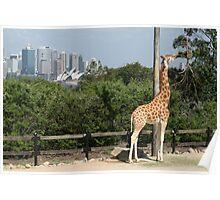 Feeding Giraffe Poster