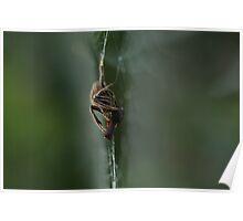 Garden Orb Weaving Spider Poster