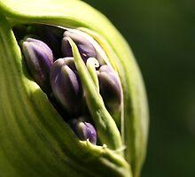 Agapantha Bud Close Up by Kezzarama