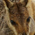 Up Close with a Wild Rock Wallaby by Samantha  Goode