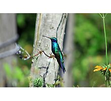Hummingbird on Barbed Wire Photographic Print