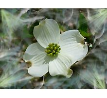 Dogwood Digital  Photographic Print