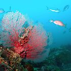 Gorgonian Fan by Hilly