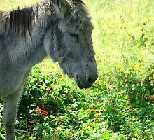 Head of a Donkey by rhamm