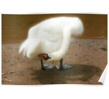 Preening the tail feathers Poster
