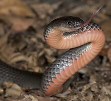 Eastern small-eyed snake by Stewart Macdonald