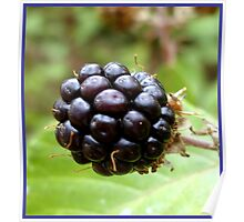 Wild blackberry  Poster