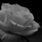 Monochrome Rose by M R Cooper