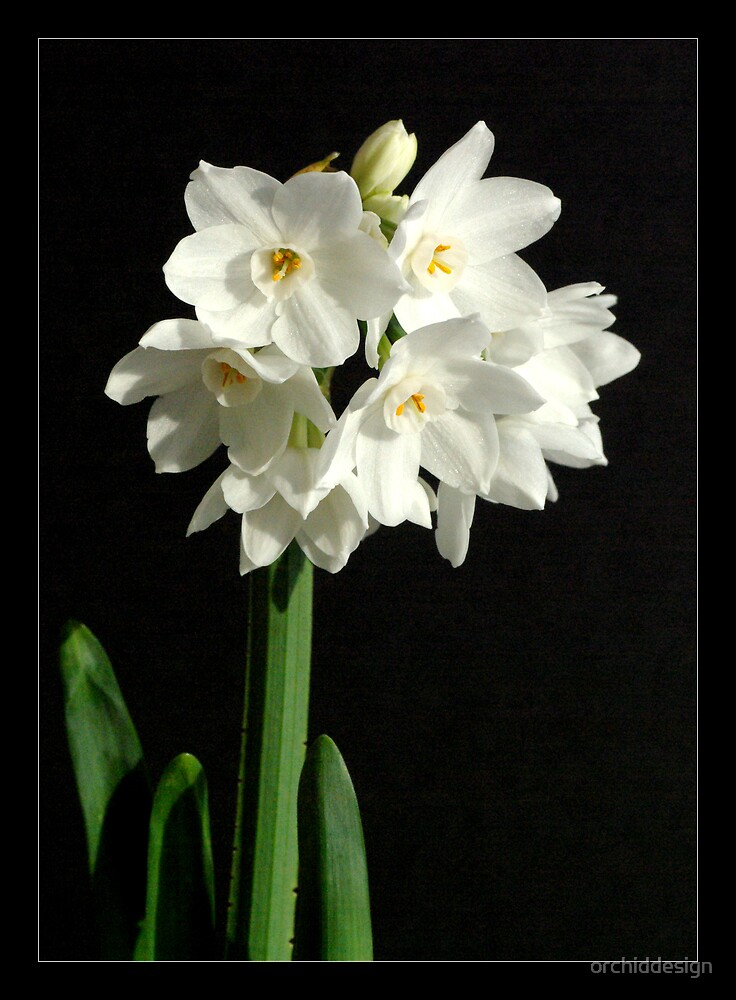 Paper Whites I by orchiddesign