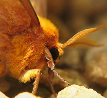 Undercover Moth by Ann  Palframan