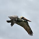 Brown Pelican in Flight by Teresa Zieba