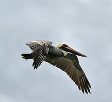 Brown Pelican in Flight by Teresa Zieba