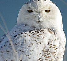 Snowy Owl Eyes by lloydsjourney