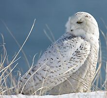 Snowy Owl in hiding by lloydsjourney