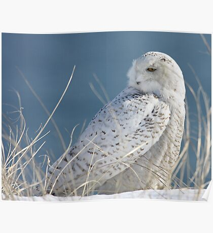 Snowy Owl in hiding Poster