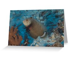 Rockmover Wrasse Greeting Card