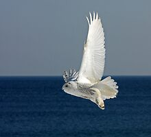 Snowy Owl in Flight #2 by lloydsjourney