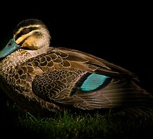 Duck on Black by Tony Steinberg