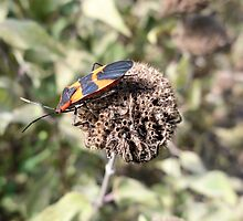 Orange and Black Beetle Bug on a Dried up Dead Flower by Barberelli
