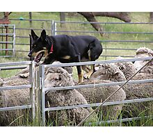 Sheep dog trials Taralga Rodeo 2009 Photographic Print