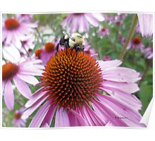 Buzzy Bee on Coneflower - 3 Poster