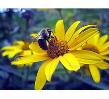 busy little bumble bee Photographic Print