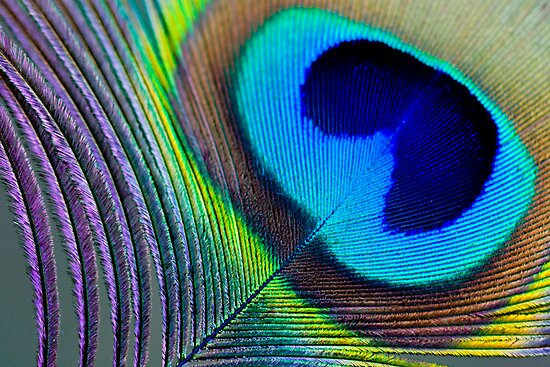 Peacock Feather by Amy Skinder