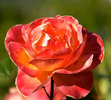 The Rose by Angus McLaren