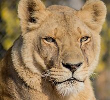 31915 lioness by pcfyi