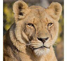 31915 lioness Photographic Print