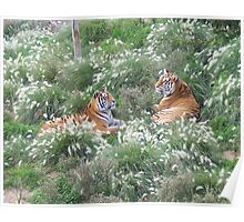 Tigers In The Grass Poster