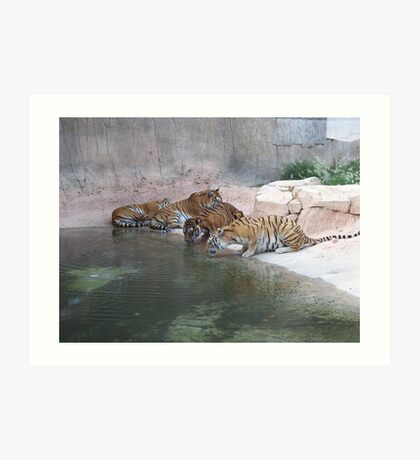 Tigers Drinking At The Waterhole Art Print
